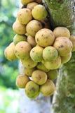 在树的Longkong果子 图库摄影