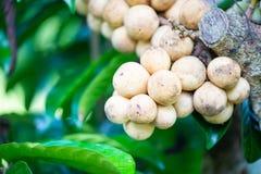 在树的Longkong 免版税库存图片