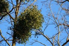 在树的Misteltoes 免版税库存照片