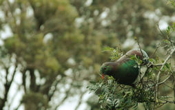 在树的NZ Keruru 库存照片