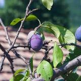 在树的Riping蓝色李子在庭院特写镜头,选择聚焦,浅DOF 免版税库存照片