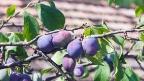在树的Riping蓝色李子在庭院特写镜头,选择聚焦,浅DOF 免版税库存图片
