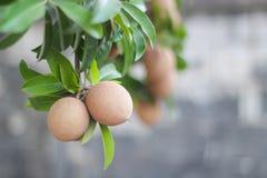 在树的Sapota果子 免版税库存图片