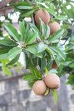 在树的Sapota果子 免版税库存照片