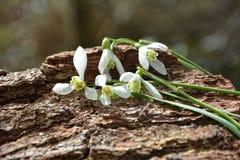在树的Snowdrops 库存图片