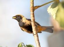 在树的Tangara cayana 免版税库存图片