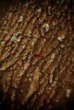 在树皮的上帝瓢虫 免版税库存照片