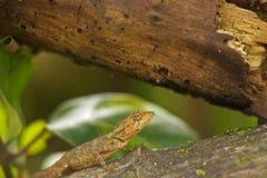 在树皮的变色蜥蜴 库存图片