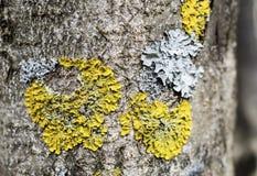 在树皮的地衣 免版税图库摄影