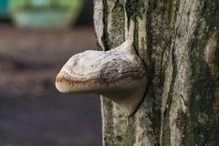 在树皮的寄生蘑菇 库存图片