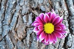 在树皮的桃红色花 免版税库存图片