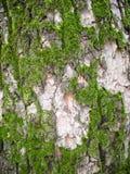 在树皮的纹理绿色青苔 免版税库存照片