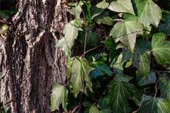 在树皮的美丽,野生常春藤在公园 库存图片
