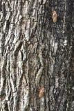 在树皮的蝉壳 库存照片
