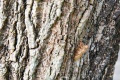 在树皮的蝉壳 免版税库存图片