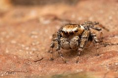 在树皮的跳跃的蜘蛛 免版税库存图片