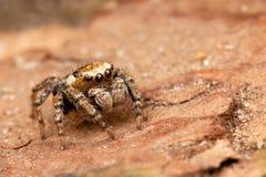 在树皮的跳跃的蜘蛛 免版税库存照片