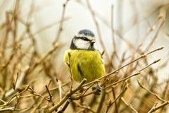 在树篱栖息的蓝冠山雀看起来正确 免版税库存图片