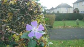 在树篱的一朵紫色花 免版税库存图片
