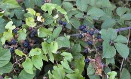 在树篱的狂放的黑莓 库存图片