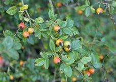 在树篱的野玫瑰果 免版税图库摄影