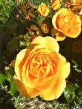 在树篱的黄色玫瑰 库存照片