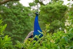在树篱行后的孔雀 免版税图库摄影