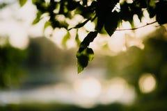 在树绿色叶子的阳光秋天关闭  免版税图库摄影