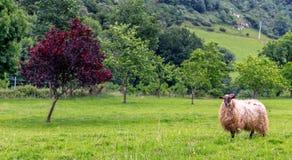 在树绿草附近的绵羊 免版税库存图片