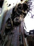 在树美国梧桐的结 库存照片