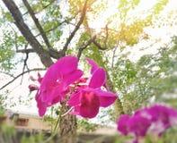 在树背景的紫色桃红色兰花 库存图片