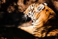 在树荫下的孟加拉老虎 免版税库存图片
