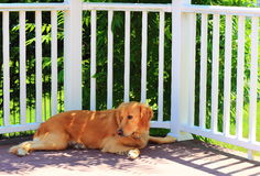 在树荫下的金毛猎犬 免版税图库摄影