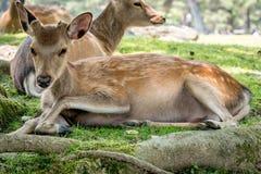 在树荫下的鹿 免版税库存照片