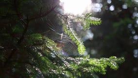 在树蜘蛛网的森林里与在太阳的背景的一只蜘蛛 影视素材