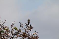 在树边缘的灰色乌鸦 图库摄影