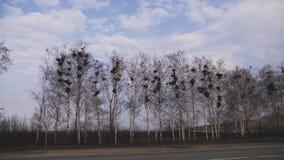 在树钩针编织的掠夺巢与掠夺飞行 掠夺坐树在巢附近 飞过的乌鸦剪影  影视素材