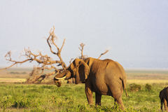 在树附近的大象 Amboseli,肯尼亚,非洲 图库摄影