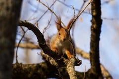 在树附近的好奇灰鼠 免版税库存图片