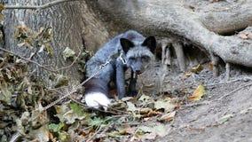 在树附近的灰狐狸 股票视频