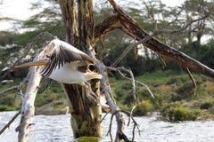 在树附近的美好的巨大白色鹈鹕飞行 库存图片
