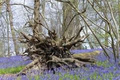 在树附近的蓝色响铃于春天森林根源 图库摄影