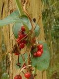 在树附近的野生莓果在森林里 免版税图库摄影