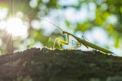 在树面对的螳螂特写镜头 库存照片