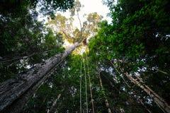 在树顶部的一个机盖或zipline驻地在巴西人亚马逊 库存照片