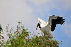 在树顶部的白色木鹳鸟在沼泽地 图库摄影