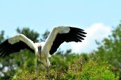 在树顶部的白色木鹳鸟在沼泽地 库存照片