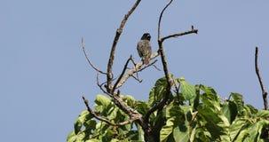 在树顶部的被结合的热带巨嘴鸟 股票视频