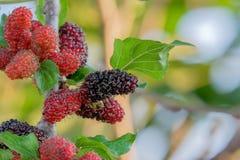 在树,与非常有用的桑树的新鲜的桑树果子治疗的和保护各种各样的疾病 免版税库存照片