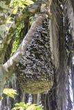 在树,乌干达的黑蚂蚁蜂房 库存照片